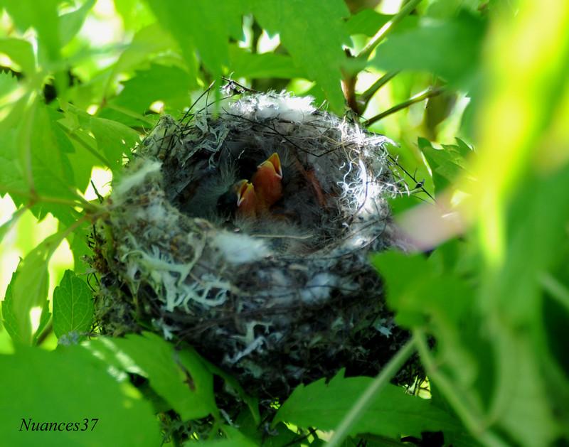 Nid de chardonneret el gant - Comment trouver un nid de mouche ...